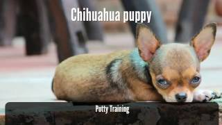 Chihuahua puppy potty training - how to potty train your chihuahua easily