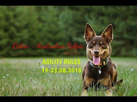 ※ Oshee - Australian Kelpie   Agility Rules ※