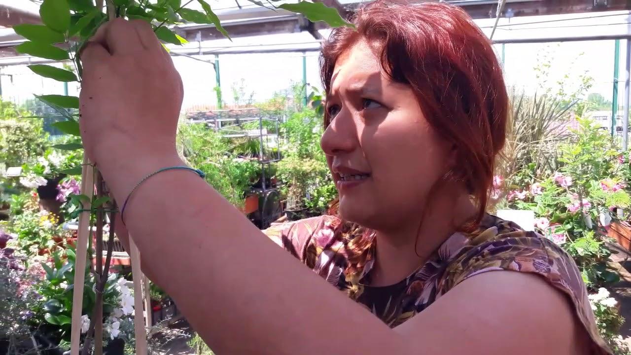 Quando Potare Il Glicine consigli pratici su come coltivare e moltiplicare il glicine