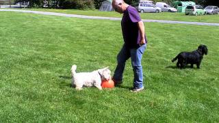 Ziggy The Westie Playing Football