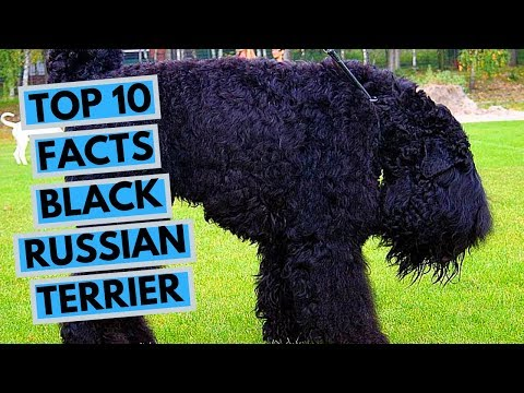 Black Russian Terrier - TOP 10 Interesting Facts