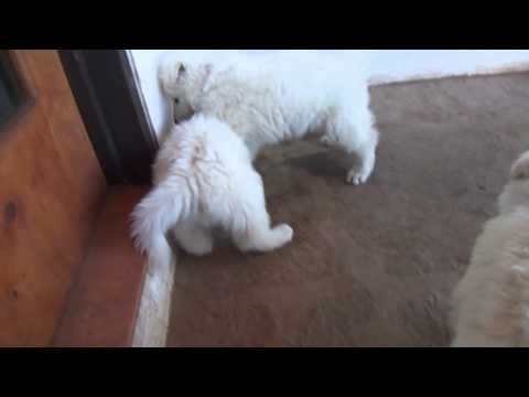 Long haired white german shepherd puppies 5 weeks old
