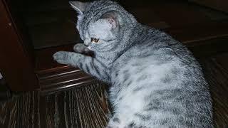 Шевеление котят в животе у беременной кошки, котята шевелятся,