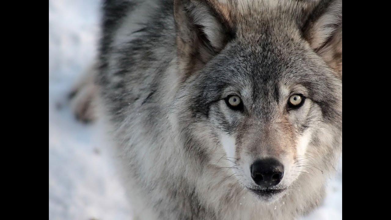 на аву фото волка