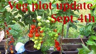 Allotment Diary Sept 4 : Veg Plot, Polytunnel Greenhouse & Giant Veg Gardening Update