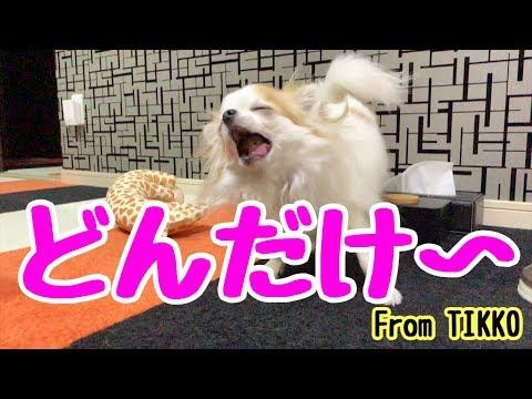 【変顔】やっぱり食べる時は愛くるしいアホ面になる子犬チワワ【かわいい犬】【chihuahua】【cute dog】【ペット動画】