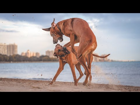 The Courage of a Rhodesian Ridgeback