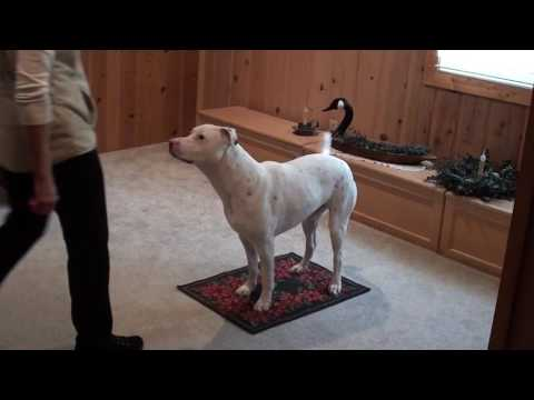 Wilbur Trick Dog Champion Video