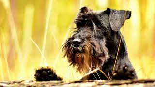 Miniature Schnauzer  small size dog breed