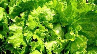 Выращивание салата в поддоне.