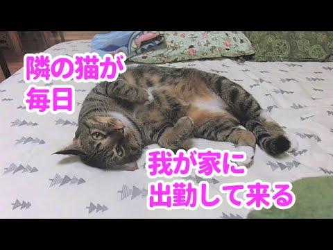 ♯134【猫のほのぼのする話】隣の猫が毎日我が家に出勤して来る