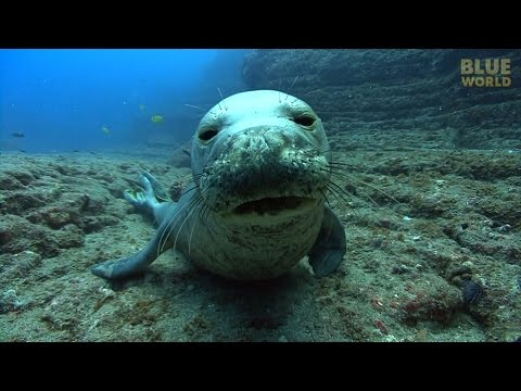 Hawaiian Monk Seals | JONATHAN BIRD'S BLUE WORLD