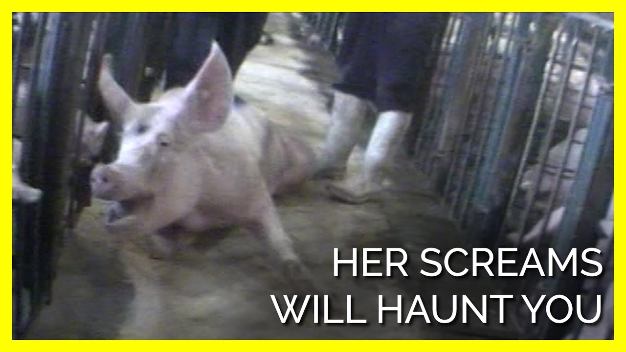 Her Cries Should Haunt Anyone Still Eating Pigs