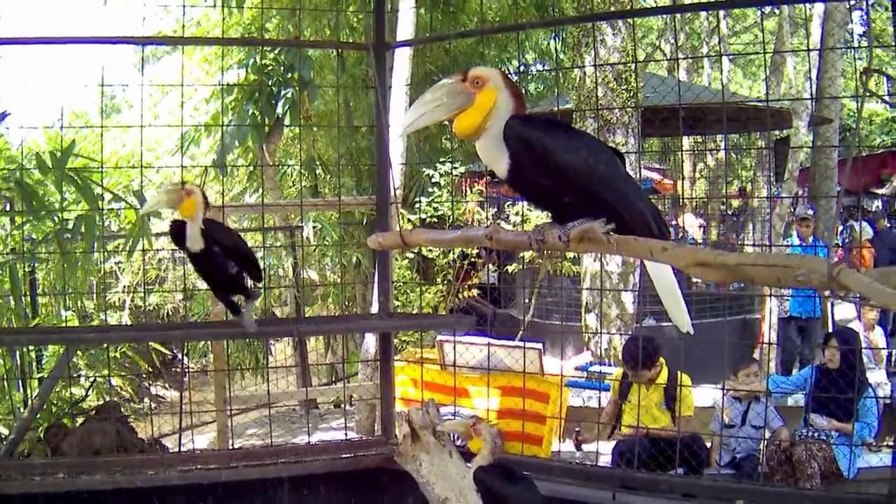 84 Gambar Hewan Burung Rangkong HD Terbaru