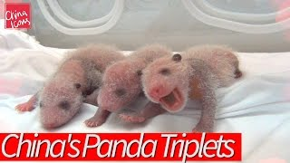 Happy Birthday to China's Miracle Panda Triplets! A China Icons Video