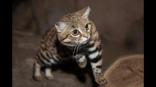 Black-Footed Cats Hunt and Play