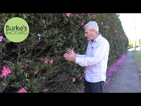 Burke's Backyard, How To Plant A Hedge