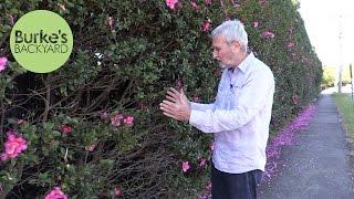 Burke's Backyard, How To Plant A Hedge