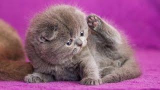 Британские Кошки лучшие домашние животные I Британские Кошки и смешное видео про кошек