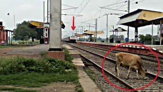 110 की रफ्तार से आते ट्रेन से कटते बची गाय, होता बड़ा हादसा !!