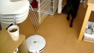 お掃除ロボット「ルンバ」が我が家にやってきた。ワッフル(犬;フラッ...