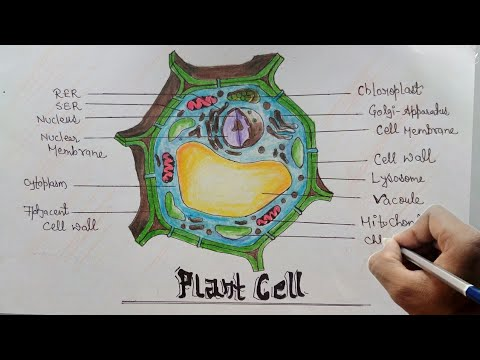 plant cell diagram with labels opel corsa wiring how to draw of step by for beginners youtube