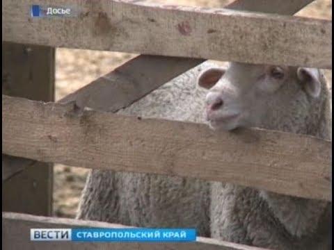 Завод по переработке баранины построят на Ставрополье