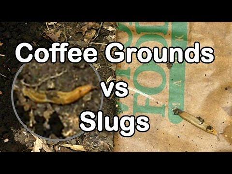 Slug Wars Trilogy pt. 1 - Coffee Grounds vs Slugs