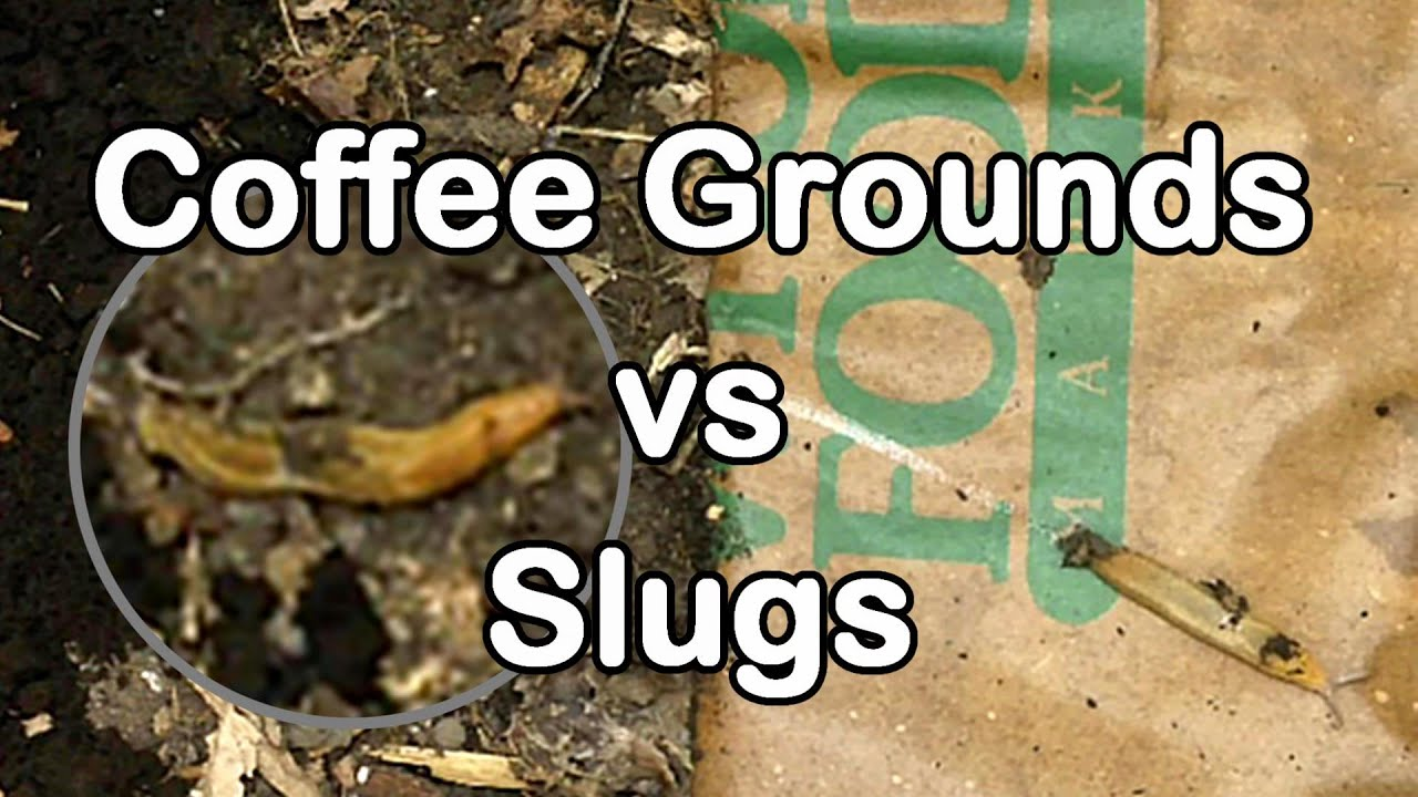 how to get rid of slugs and snails with coffee
