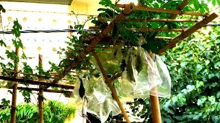 How To Make Bamboo Stack / Trellis Support In 2 Usd For Bitter Gourd & Climber Plants