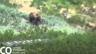 Петропавловск Камчатский гуляющий медведь