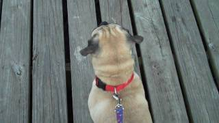 How To Train And Bond With Your Pug Or Puggle!