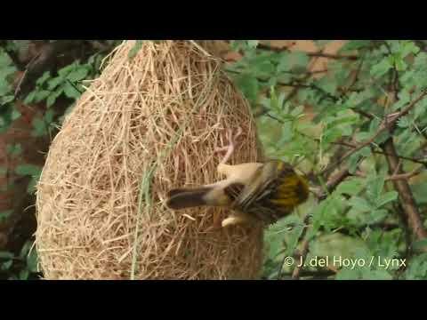 Suara Asli Burung Manyar Kembang [Audio Masteran Burung]