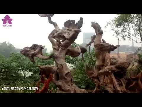 HoalanTV: Đi Chợ Hoa Lan Đặc Sắc Ở Thủ Đô Gió Ngàn Thái Nguyên