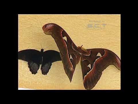 Где в Братске можно увидеть тропических бабочек - Смотреть видео онлайн