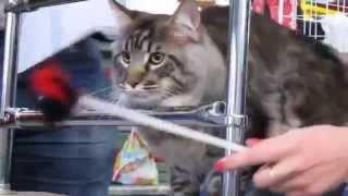 Выставка кошек Екатеринбург 10.10.2015. Полоса препятствий. Мейн кун.