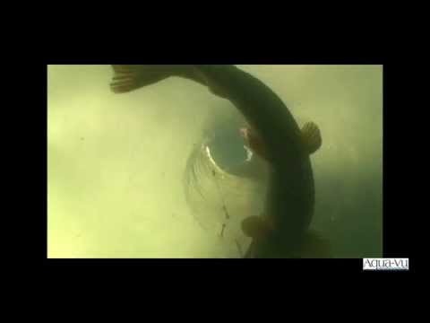 Underwater Fish Strikes Incredible