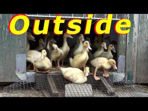 Duck Egg Caesarean Section Rescue #54 Hatching Duck & Goose Eggs