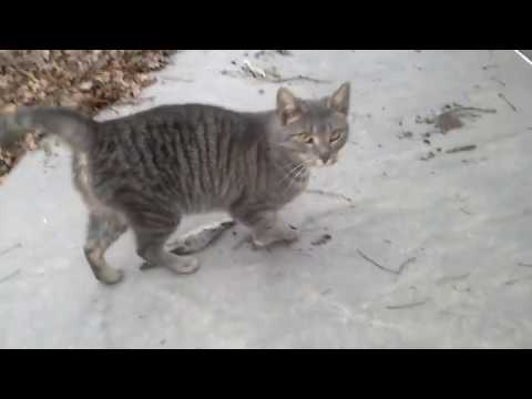 Grey Ghost is a Homeless Egyptian Mau Cat she's friendly but afraid