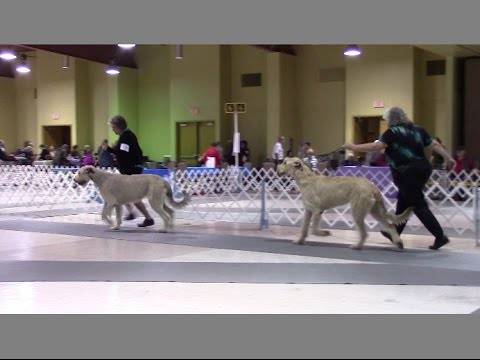 11-05-2016 Tri State Kennel Club - Irish Wolfhounds