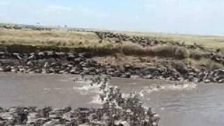 ヌーとシマウマが、命がけでマラ川を渡ります。 https://blog.goo.ne.jp...