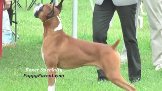 Boxer Dog Show - Specialty