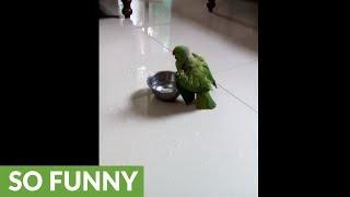 Indian parrot enjoys playful bath in water bowl