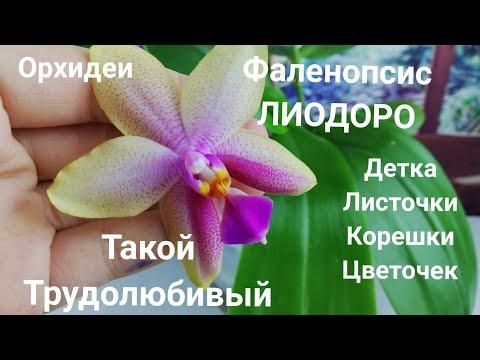 Орхидеи. Фаленопсис Лиодоро. Шикарный экземпляр!