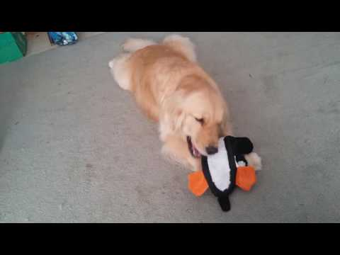 Golden Retriever Plays with Pixel the Penguin