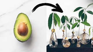 The FASTEST Way T๐ Grow An Avocado