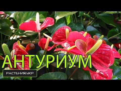 Цветок мужское счастье / Антуриум уход в домашних условиях