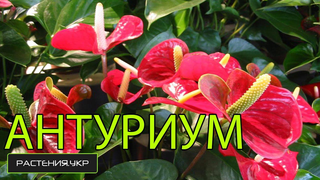Антуриум цветок уход в домашних условиях фото