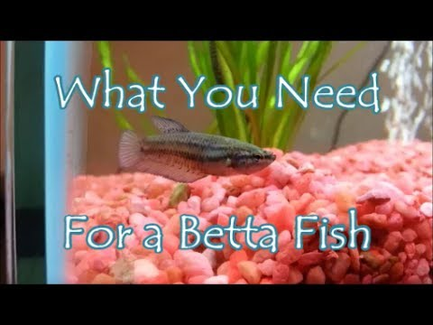 what you need for a betta fish youtube