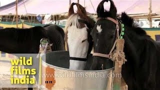 Marwari horses for sale at Pushkar mela, Rajasthan